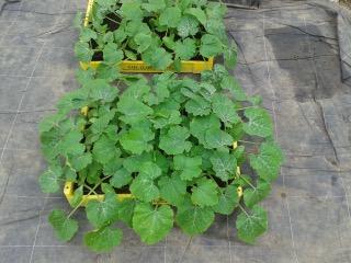 12 - Plants des premières courgettes de la saison.jpeg